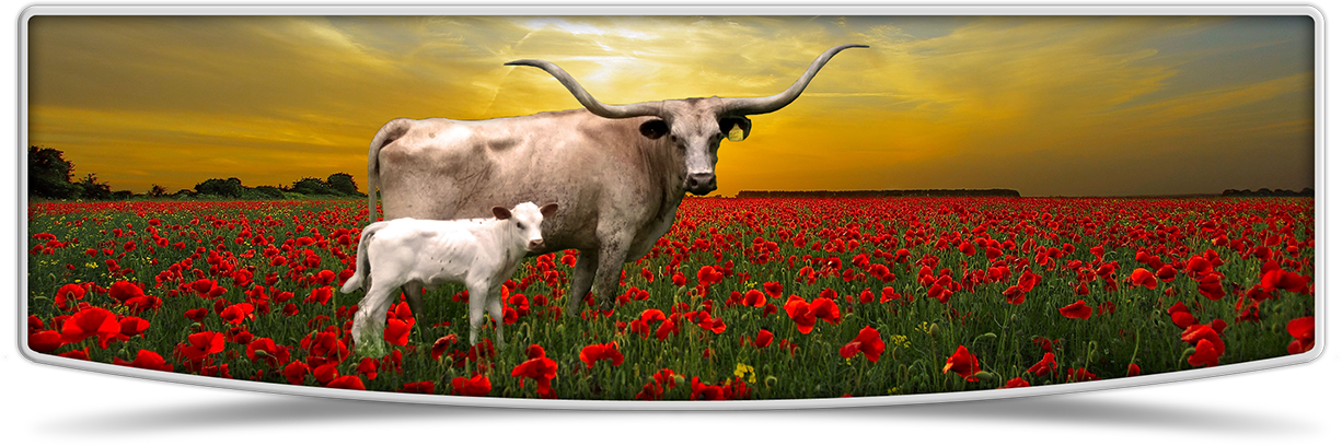 Lutt Longhorns cows banner image